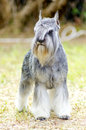 Miniature schnauzer a small salt and pepper gray dog standing on the grass looking very happy it is known for being an intelligent Stock Photography