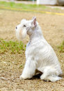 Miniature schnauzer a small white salt dog sitting on the grass looking very happy distinctive for their beard and long feathery Royalty Free Stock Image