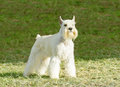 Miniature schnauzer a small white salt dog standing on the grass looking very happy distinctive for their beard and long feathery Royalty Free Stock Images