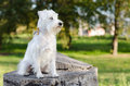 Miniature schnauzer on stump white sitting Stock Photos