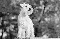 Miniature schnauzer on the wall white standing black and white photography Royalty Free Stock Photos