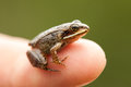 Miniature from sitting on a humain finger index so we can see how small the frog is Stock Photography