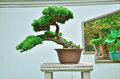 Miniature tree beautiful bonsai in the sunshine Stock Photo