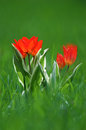 Miniature tulips tiny red spring growing up from within the grass soft focus and shallow dof depth of field Royalty Free Stock Photos