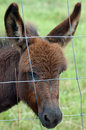Miniture donkey a young peering through a fence Stock Image