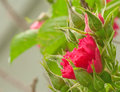Miniture red rose miniature and green leaves in flower garden Stock Image