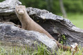 Mink in full length portrait with entire body to the side leaning on log mountains montana Royalty Free Stock Images