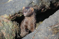 A Mink Neovison vison hunting in the tide pools for food. Royalty Free Stock Photo