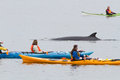 Minke whale and kayaks Royalty Free Stock Images