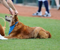 Minor League baseball - dog mascot Royalty Free Stock Image