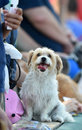 Minor league baseball trenton nj july a cute dog waits for autographs at bring your dog to the park day with the trenton thunder Royalty Free Stock Images