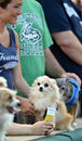 Minor league baseball trenton nj july a cute dog waits for autographs at bring your dog to the park day with the trenton thunder Stock Images