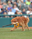 Minor league baseball trenton nj july derby a bat retrieving golden retriever works during the eastern game july in trenton nj Royalty Free Stock Image