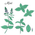 Mint branch, leaves and flower isolated on white, Hand drawn vector spicy herbs, Doodle cooking ingredient for design