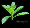 Mint branch VECTOR sketch