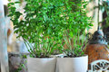 Mint deco bar terrace garden outdoor pot detail Stock Photography