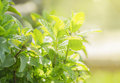 Mint in garden on sunshine copy space Stock Images