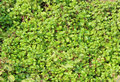Mint green leave in nature Royalty Free Stock Images