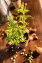 Mint growing in a flowerpot Royalty Free Stock Photo