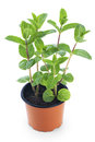 Mint growing in a pot Royalty Free Stock Photo