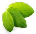 Mint leaves Royalty Free Stock Photography