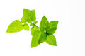 Mint leaves a branch of minty on white background Stock Image