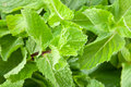 Mint leaves closeup Royalty Free Stock Photo
