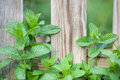 Mint leaves in the garden fresh green growing spring against a wooden fence Stock Photos