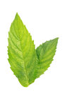 Mint leaves two fresh green isolated over white background Royalty Free Stock Photo