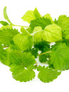 Mint and Lemon Balm Stock Image