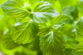 Mint plant Stock Photography