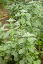 Mint plant growing in the garden Royalty Free Stock Photo