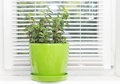 Mint plant growing Royalty Free Stock Photo