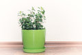 Mint plant growing in a pot Royalty Free Stock Photo