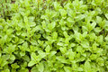 Mint plants in a garden fresh young Royalty Free Stock Image