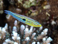 Minute wrasse in red sea Royalty Free Stock Image