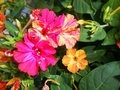 Mirabilis jalapa Four O`Clocks fragrant flowers Royalty Free Stock Photo