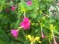 Mirabilis jalapa or four oclock flower