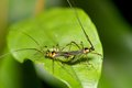 Mirid bugs Royalty Free Stock Photos