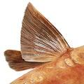 Mirror carp fish flipper closeup on white Stock Images