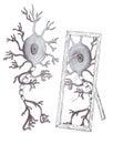 Mirror neuron Royalty Free Stock Photo