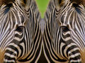 Mirrored Zebras Stock Photography