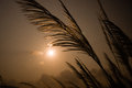 Miscanthus the against the sunset Stock Photo