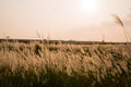 Miscanthus the against the sunset Royalty Free Stock Photo
