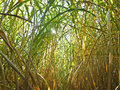 Miscanthus,switchgrass Royalty Free Stock Image