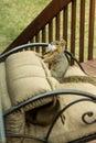 Mischievious Backyard squirrel Royalty Free Stock Photo