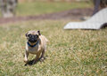 Mischievous Pug Puppy Royalty Free Stock Photo