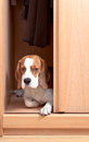 Missing dog the has climbed in a wardrobe Royalty Free Stock Images
