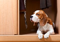 Missing dog the has climbed in a wardrobe Stock Images