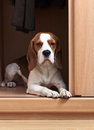 Missing dog the has climbed in a wardrobe Stock Photography